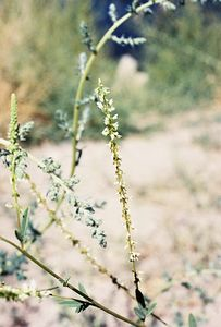 8/14/04 White Sweet Clover (Melilotus alba). East Line Street (168E), Bishop. Eastern Sierras, Inyo County, CA