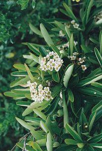 5/7/05 Toyon (Heteromeles arbutifolia). Pentachaeta Trail, Triunfo Creek Park, Santa Monica Mountains Conservancy. Westlake Village, Los Angeles County, CA