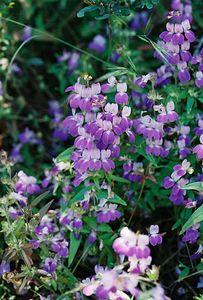 5/7/05 Chinese Houses (Collinsia heterophylla). Pentachaeta Trail, Triunfo Creek Park, Santa Monica Mountains Conservancy. Westlake Village, Los Angeles County, CA
