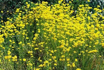5/7/05 Golden Yarrow (Eriophyllum confertiflorum). Pentachaeta Trail, Triunfo Creek Park, Santa Monica Mountains Conservancy. Westlake Village, Los Angeles County, CA