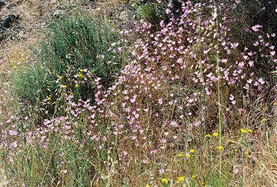 5/7/05 Speckled Clarkia (Clarkia cylindrica). Pentachaeta Trail, Triunfo Creek Park, Santa Monica Mountains Conservancy. Westlake Village, Los Angeles County, CA