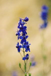 5/7/05 Blue Larkspur (Delphinium parryi). Pentachaeta Trail, Triunfo Creek Park, Santa Monica Mountains Conservancy. Westlake Village, Los Angeles County, CA