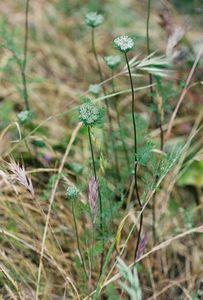 5/7/05 Wild Carrot/Rattlesnake Weed (Daucus pusillus). Pentachaeta Trail, Triunfo Creek Park, Santa Monica Mountains Conservancy. Westlake Village, Los Angeles County, CA