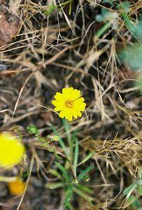 5/7/05 Lyon's Pentachaeta/Lyon's Pygmydaisy (Pentachaeta lyonii). Pentachaeta Trail, Triunfo Creek Park, Santa Monica Mountains Conservancy. Westlake Village, Los Angeles County, CA
