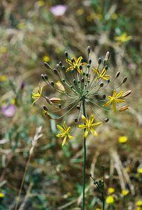 5/7/05 Golden Stars (Bloomeria crocea). Pentachaeta Trail, Triunfo Creek Park, Santa Monica Mountains Conservancy. Westlake Village, Los Angeles County, CA