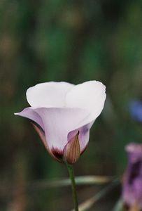 5/7/05 Catalina Mariposa Lily (Calochortus catalinae). Pentachaeta Trail, Triunfo Creek Park, Santa Monica Mountains Conservancy. Westlake Village, Los Angeles County, CA