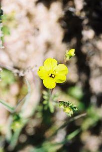3/13/05 Golden Gilia (Linanthus aureus). Pipes Canyon Rd, Yucca Valley, San Bernardino County, CA