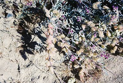 "4/4/04 Milkvetch (Astragalus sp). ""Desert Wildflower Excursion"", Rancho Santa Ana Botanic Garden trip (w/Lorrae Fuentes).  Pipes Canyon Rd, Yucca Valley, San Bernardino County, CA"