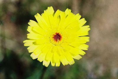 3/13/05 Desert Dandelion (Malacothrix glabrata). Pipes Canyon Rd, Yucca Valley, San Bernardino County, CA