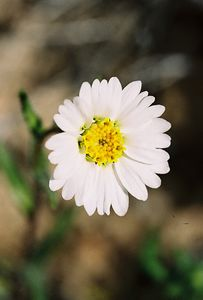 3/13/05 White Tidy Tips (Layia glandulosa). Pipes Canyon Rd, Yucca Valley, San Bernardino County, CA