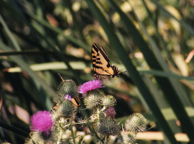 6/22/02 Western Tiger Swallowtail (Papilio rutulus). Prado Constructed Wetlands, Riverside County, CA