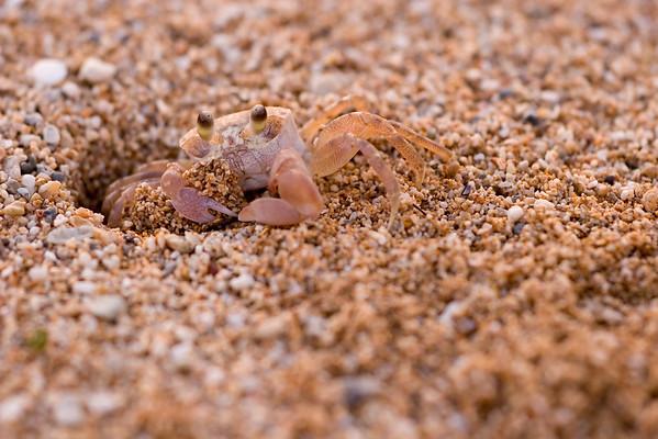 Haole Crab (White Crab) Kaua'i, Hawai'i