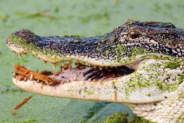 American Alligator, Alligator mississippiensis Brazos Bend State Park Needville, TX