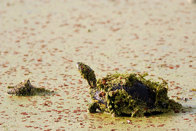 Red-Eared Slider, Trachemys scripta Brazos Bend State Park Needville, TX