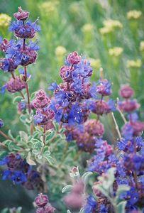 5/4/03 Carnosa / Desert / Gray Ball Sage (Salvia dorrii). Arthur B. Ripley Desert Woodland State Park, Western Mojave (Antelope Valley near Lancaster). Los Angeles County, CA