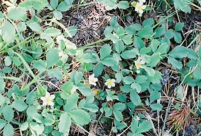 7/7/05 Mountain/Western Alpine Strawberry (Fragaria virginiana). Rock Creek @Little Lakes/Mosquito Flat Trailhead.