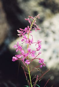 8/15/04 Fireweed (Epilobium angustifolium). Rock Creek Road before Little Lakes/Mosquito Flat Trailhead. Eastern Sierras, Inyo National Forest, Mono County, CA