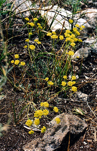 8/15/04 Sulphur Flower Buckwheat  (Eriogonum umbellatum). Rock Creek @Little Lakes/Mosquito Flat Trailhead. Eastern Sierras, Inyo National Forest, Mono County, CA