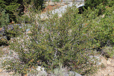 8/16/11 Curl-leaf Mountain Mahogany (Cercocarpus ledifolius). East Fork Rock Creek (day use area across road from Palisades Campground). Inyo National Forest, Eastern Sierras, Mono County, CA