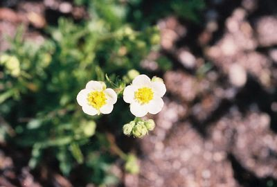 7/7/05 Sticky Cinquefoil (Potentilla glandulosa). Rock Creek @Little Lakes/Mosquito Flat Trailhead. Eastern Sierras, Inyo National Forest, Mono County, CA