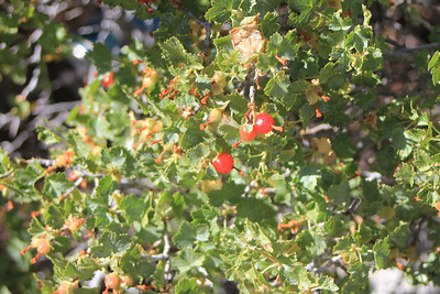 8/16/11 Wax Currant (Ribes cereum). East Fork Rock Creek (day use area across road from Palisades Campground). Inyo National Forest, Eastern Sierras, Mono County, CA