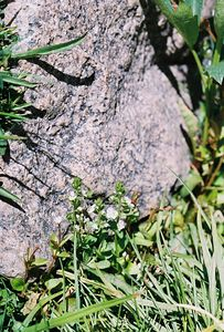 7/7/05 Veronica species? Rock Creek @Little Lakes/Mosquito Flat Trailhead, Eastern Sierras, Inyo National Forest, Mono County, CA