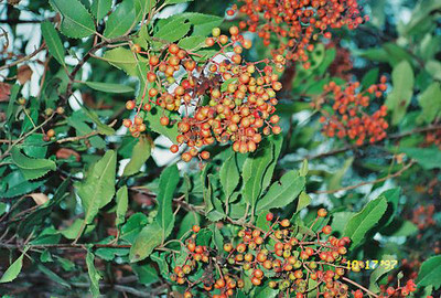 10/18/97 Toyon / Christmas Berry (Heteromeles arbutifolia). Ben Overturff Trail, Monrovia Canyon Park to Sawpit Canyon. San Gabriel Mountains, Los Angeles County, CA