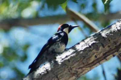 6/15/02 Acorn Woodpecker (Melanerpes formicivorus). Chilao Visitor Center, San Gabriel Mountains, Los Angeles County, CA