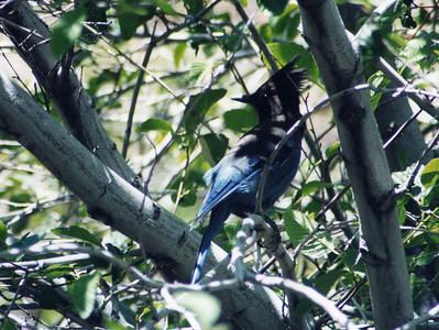 6/15/02 Steller's Jay (Cyanocitta stelleri). Chilao Visitor Center, San Gabriel Mountains, Angeles National Forest, Los Angeles County, CA