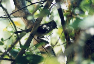7/14/02 Plain Titmouse (Baeolophus inornatus). Chilao Visitor Center, San Gabrel Mountains, Angeles National Forest, Los Angeles County, CA