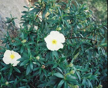 4/6/1997 White Rock Rose (Cistus villosus). Chantry Flat to Sturtevant Falls, Gabrielino Trail, Big Santa Anita Canyon, San Gabriel Mountains, Angeles National Forest, Los Angeles County, CA