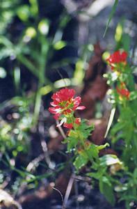 5/6/01 Indian Paintbtrush (Castilleja species). Chantry Flat to Sturtevant Falls, San Gabriel Mountains, Los Angeles County, CA