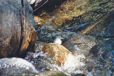 5/6/01 American Dipper (Cinclus mexicanus). Gabrielino Trail to Sturtevant Falls. Big Santa Anita Canyon, San Gabriel Mountains, Angeles National Forest, Los Angeles County, CA