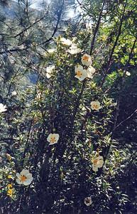 4/6/1997 Crimson Spot Rock Rose (Cistus ladinifera). Parking area/Trailhead, Chantry Flat to Sturtevant Falls, Gabrielino Trail, Big Santa Anita Canyon, San Gabriel Mountains, Angeles National Forest, Los Angeles County, CA