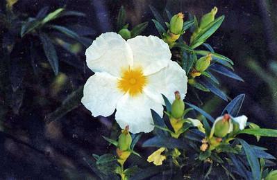 5/6/01 White Rock Rose (Cistus villosus). Parking area/Trailhead, Chantry Flat to Sturtevant Falls, Gabrielino Trail, Big Santa Anita Canyon, San Gabriel Mountains, Angeles National Forest, Los Angeles County, CA