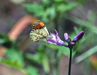 5/6/01 Sara Orangetip (Anthocharis sara). Chantry Flat to Sturtevant Falls, San Gabriel Mountains, Los Angeles County, CA