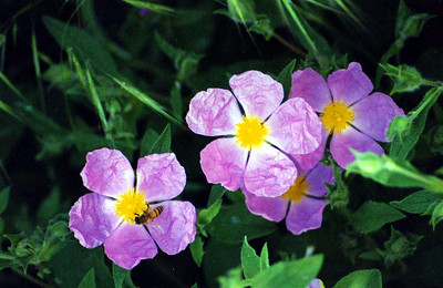 5/6/01 Rock Rose (Cistus villosus). Parking area/Trailhead, Chantry Flat to Sturtevant Falls, Gabrielino Trail, Big Santa Anita Canyon, San Gabriel Mountains, Angeles National Forest, Los Angeles County, CA