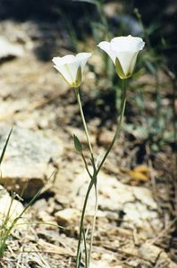 6/15/03 Plain Mariposa Lily (Calochortus invenustus). Ernie Maxwell Scenic Trail, San Jacinto Mountains, San Bernardino National Forest, Riverside County, CA