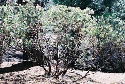 5/29/05 Pink-Bracted/Idyllwild Manzanita (Arctostaphylos pringlei ssp. drupacea). Yellow Pine Nature Trail, Idyllwild County Park, San Jacinto Mountains, Riverside County, CA
