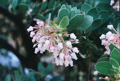 5/29/05 Pink-Bracted/Idyllwild Manzanita (Arctostaphylos pringlei ssp. drupacea). Idyllwild County Park (Nature Trail), San Jacinto Mountains, Riverside County, CA
