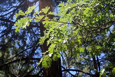 7/12/09 Black Oak (Quercus kellogii). Yellow Pine Nature Trail, Idyllwild County Park, San Jacinto Mountains, Riverside County, CA
