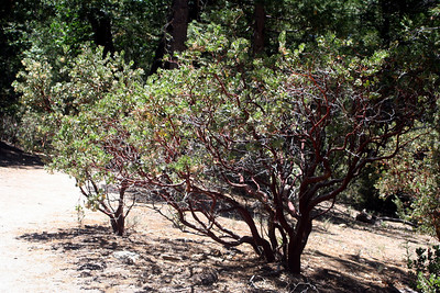 7/12/09 Pink-bracted/Idyllwild Manzanita (Arctostaphylos pringlei ssp. drupacea). Yellow Pine Nature Trail, Idyllwild County Park, San Jacinto Mountains, Riverside County, CA
