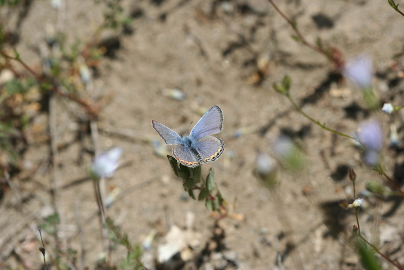 4/2/10 Acmon Blue (Plebejus acmon) on Angel Gilia (Gilia angelensis). Vista Grande Trail just before bridge over Cole Creek, Santa Rosa Plateau Ecological Reserve, Riverside County, CA