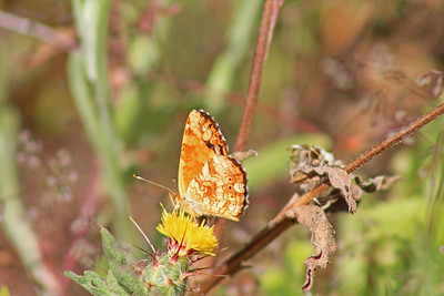 7/24/11 Mylitta Crescent (Phyciodes mylitta) on Yellow Star Thistle. Cross drainage at Waterline Rd, Santa Rosa Plateau Ecological Reserve, SW Riverside County, CA