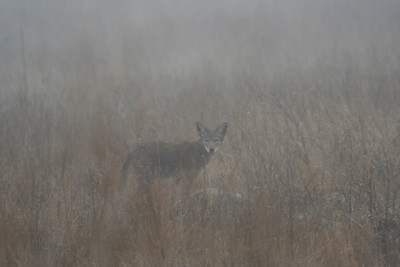 2/19/07 Coyote (Canis latrans) in the mist, Roadside off Via Volcano, Santa Rosa Plateau Ecological Reserve, Riverside County,