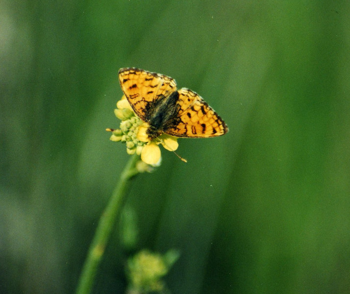 3/31/01 Fritillary species. North Los Santos Trail, Santa Rosa Plateau Ecological Reserve, Riverside County, CA