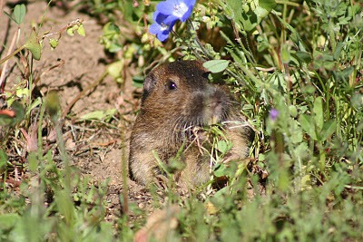 3/28/10 California Pocket Gopher (Thomomys bottae). Granite Look Trail, Santa Rosa Plateau Ecological Reserve, Riverside County, CA