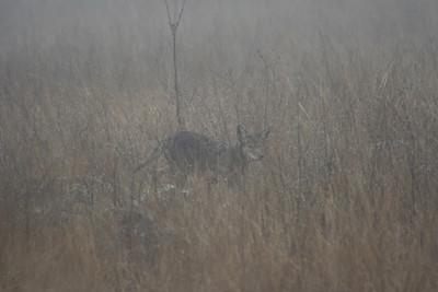 2/19/070 Coyote (Canis latrans) in the mist, Roadside off Via Volcano, Santa Rosa Plateau Ecological Reserve, Riverside County,