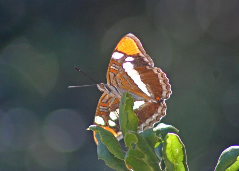8/29/10 California Sister (Adelpha bredowii). Waterline Road, Santa Rosa Plateau Ecological Reserve, Riverside County, CA