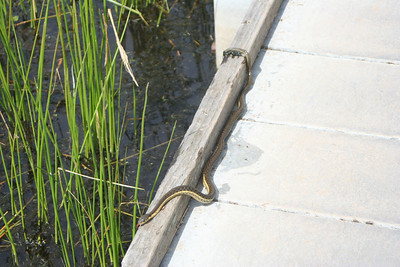 4/17/10 Two-Striped Garter Snake (Thamnophis hammondii) at main vernal pool. Santa Rosa Plateau Ecological Reserve, Riverside County, CA